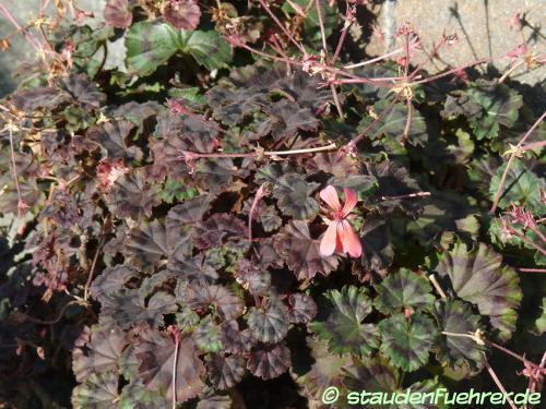 Bild Pelargonium zonale 'Mini Czech'