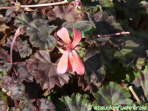 Bild Pelargonium zonale 'Mini Czech'