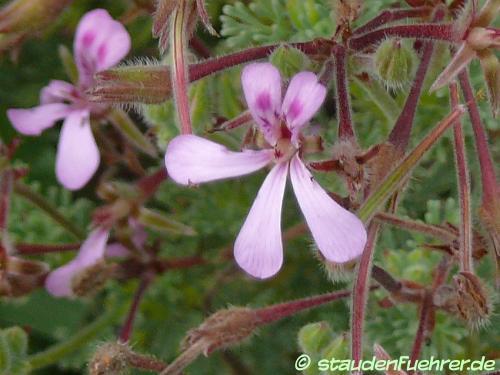 Bild Pelargonium abrotanifolium