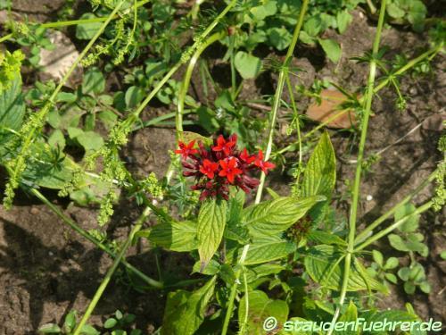 Bild Pentas lanceolata Deflers