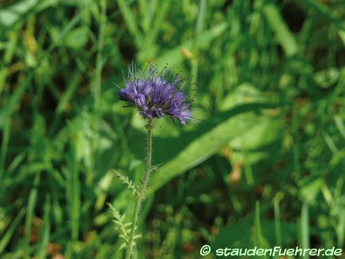 Image Phacelia tanacetifolia