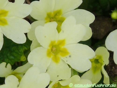 Bild Primula vulgaris