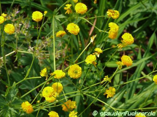 Bild Ranunculus acris 'Multiplex'