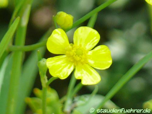 Bild Ranunculus flammula