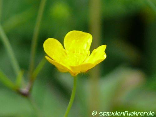 Bild Ranunculus lanuginosus