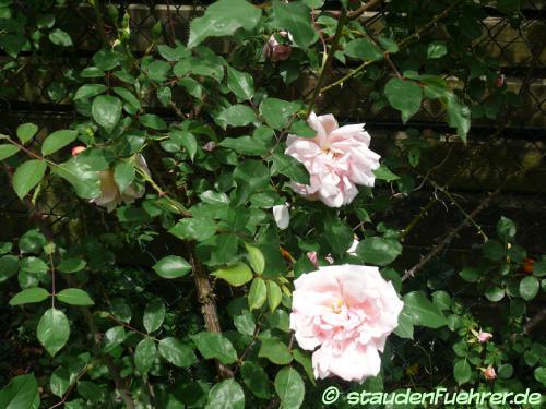 Image Rosa 'Albertine'