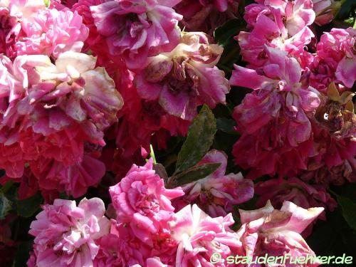 Bild Rosa 'Heidetraum'