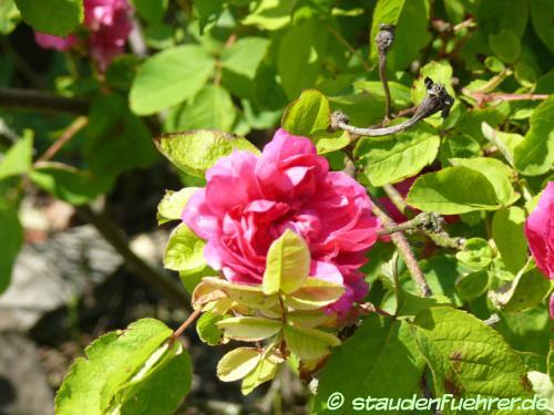 Image Rosa 'Rose du roi'