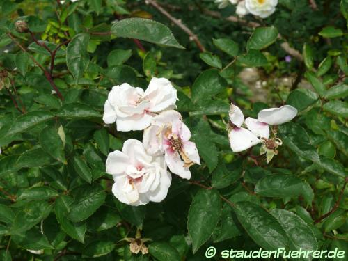 Bild Rosa moschata 'Moonlight'