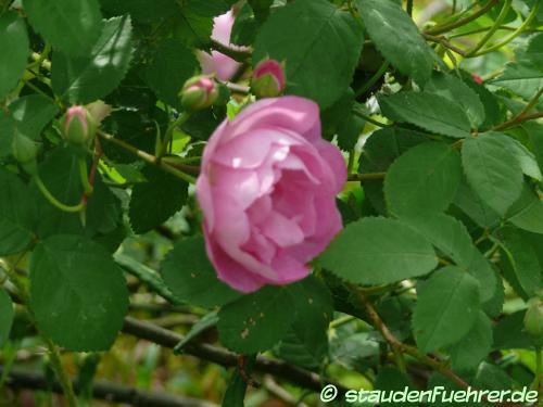 Image Rosa 'Raubritter'
