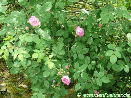 Bild Rosa 'Raubritter'