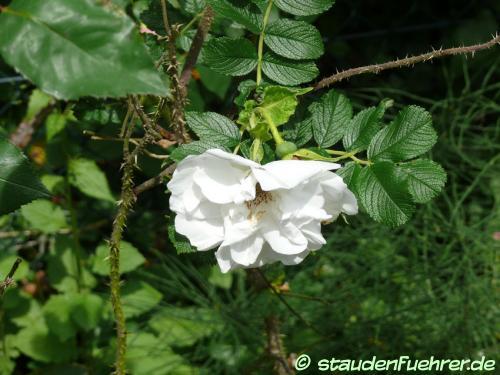 Bild Rosa rugosa 'Blanc double de Coubert'