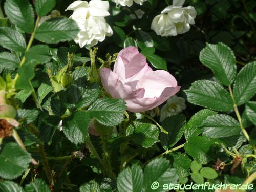 Bild Rosa rugosa 'Frau Dagmar Hastrup'