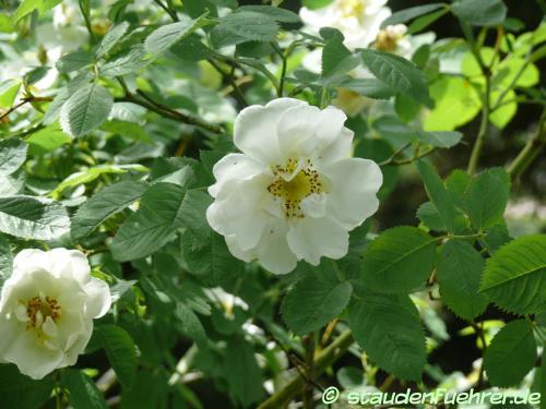 Image Rosa alba 'Semiplena'