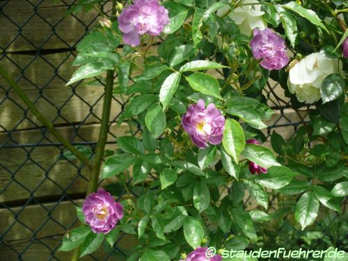 Bild Rosa multiflora 'Veilchenblau Kletterrose'