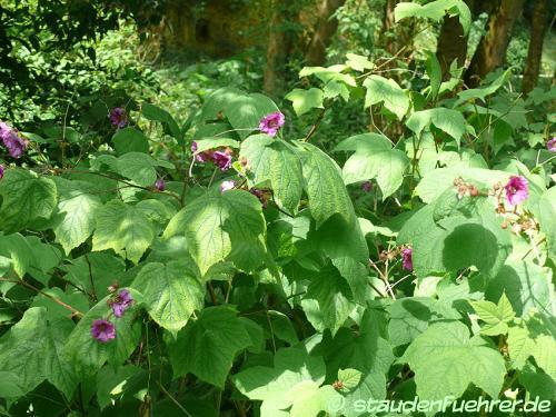 Bild Rubus odoratus