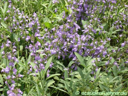 Bild Salvia lavandulifolia