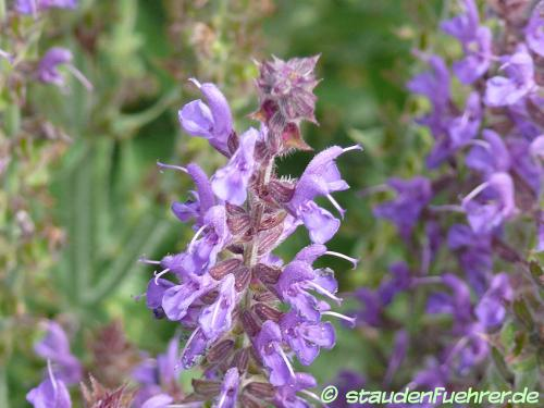 Bild Salvia nemorosa 'Rügen'