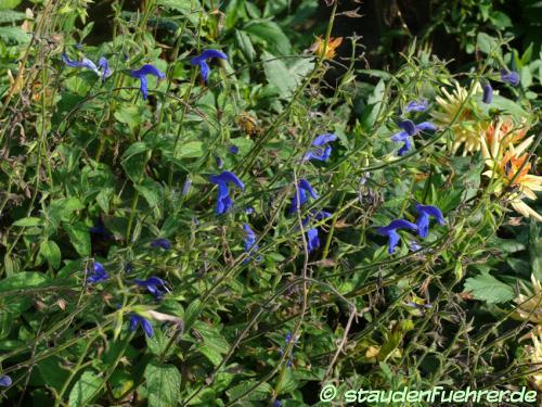 Bild Salvia patens 'Ocean Blue'