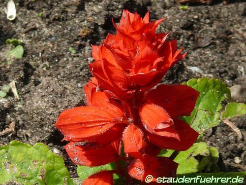 Image Salvia splendens