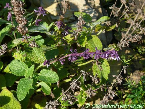 Bild Salvia verticillata