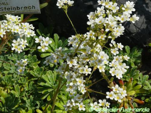 Bild Saxifraga paniculata