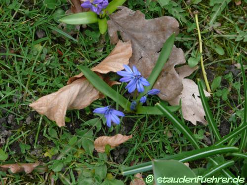 Image Scilla bifolia