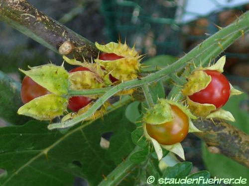 Bild Solanum sisymbriifolium