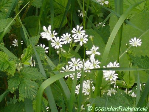 Image Stellaria graminea