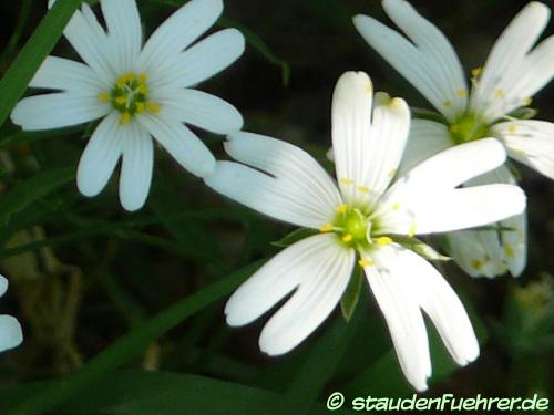 Image Stellaria holostea