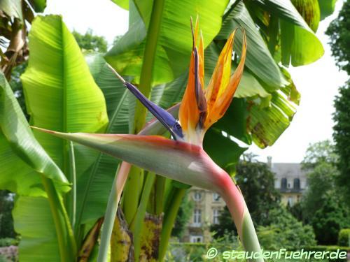 Bild Strelitzia reginae