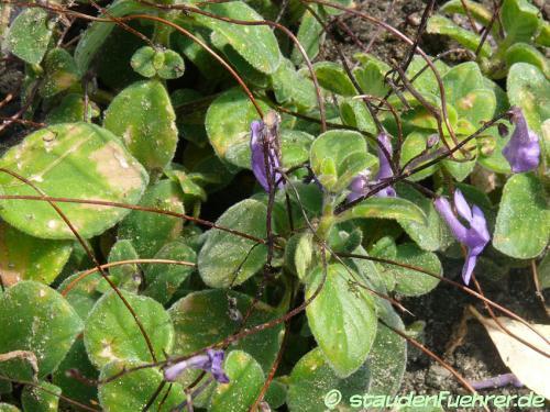 Bild Streptocarpus saxorum