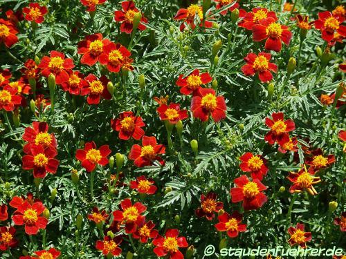 Image Tagetes tenuifolia