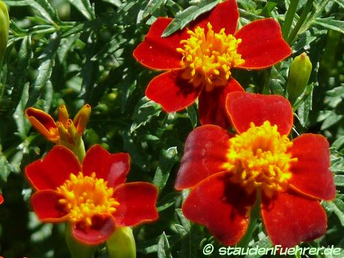 Bild Tagetes tenuifolia