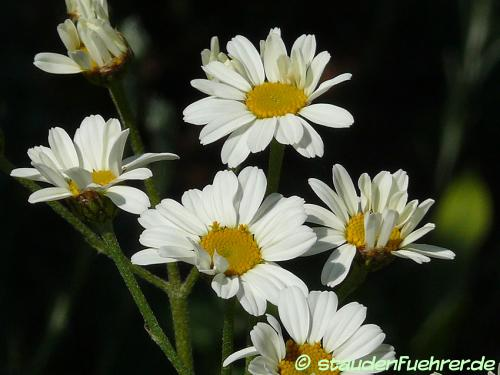 Image Tanacetum corymbosum