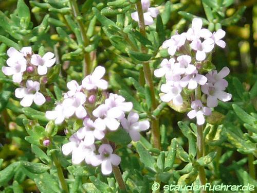Bild Thymus vulgaris