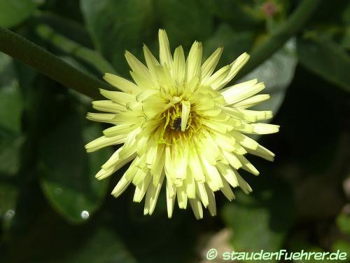Image Urospermum dalechampii