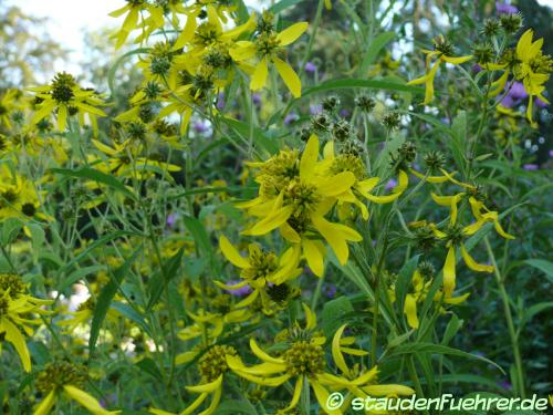 Bild Verbesina alternifolia