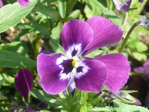 Bild Viola cornuta