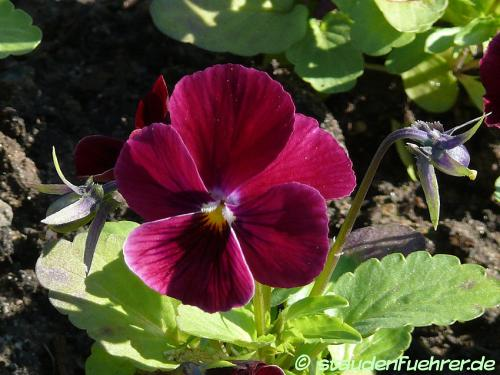 Image Viola cornuta 'Rose With Eye'