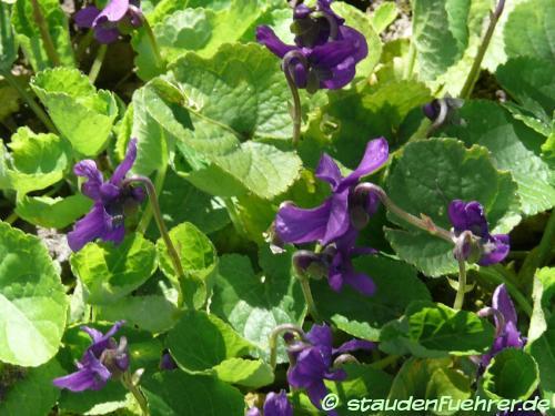 Bild Viola odorata