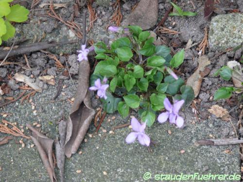 Bild Viola reichenbachiana