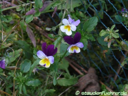 Bild Viola tricolor